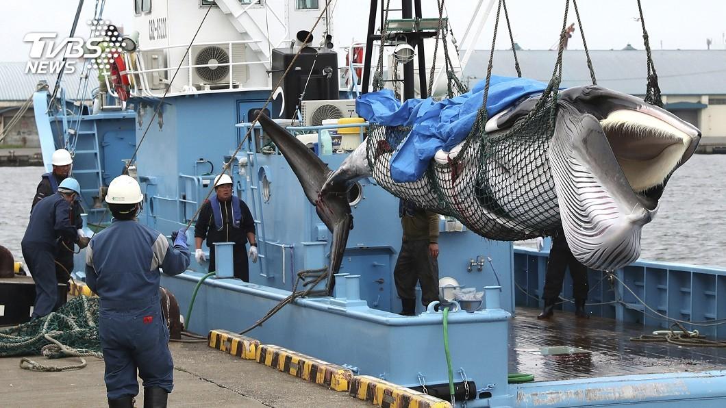 圖/達志影像美聯社 日本重啟商業捕鯨 遭批「重返海盜國家」