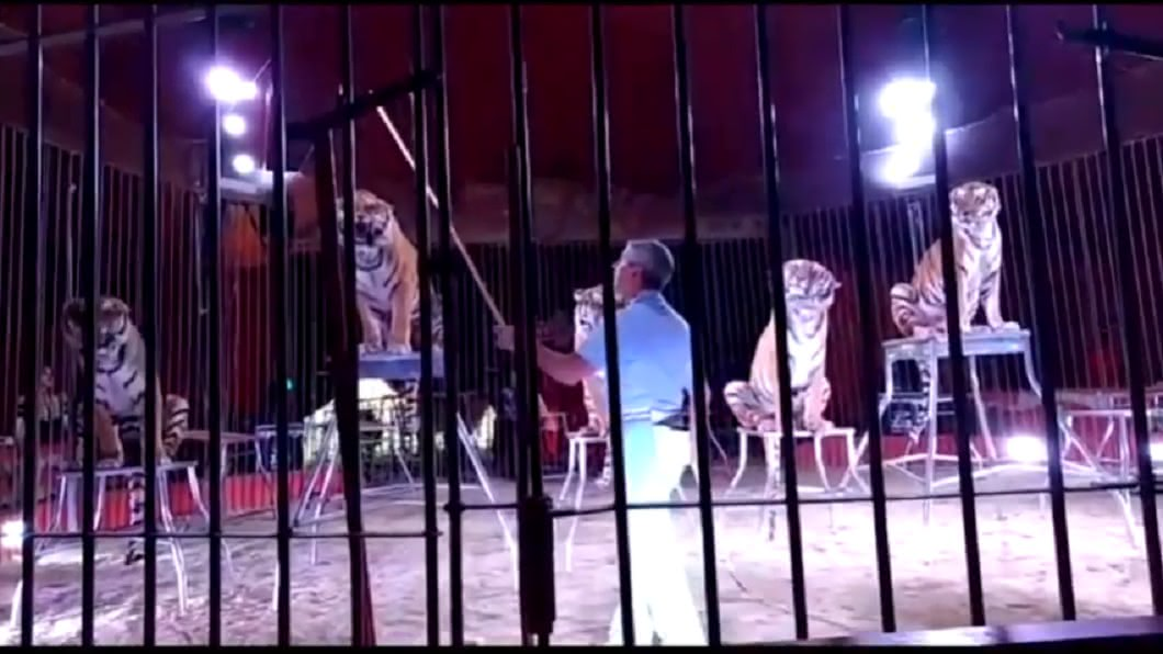 馴獸師正在準備表演。圖/翻攝自YouTube @Elvisxx71 馬戲團老虎失控! 馴獸師遭玩弄30分鐘慘死