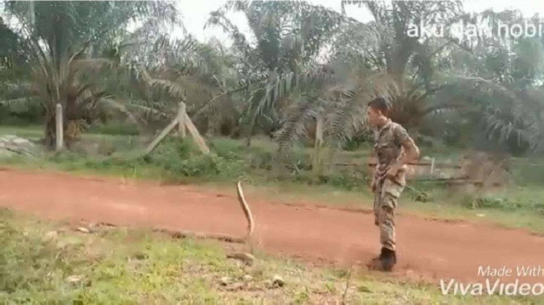 一名軍人和眼鏡王蛇對峙互看。(圖/翻攝自YouTube) 猛!對峙眼鏡王蛇 軍人徒手「摸頭」抓7吋擒拿降伏