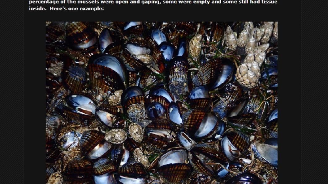 滿滿孔雀蛤已明顯死亡。圖/翻攝索恩斯網誌bodegahead.blogspot.com 熱浪襲來史上最熱6月!加州海岸滿滿孔雀蛤被「煮熟」