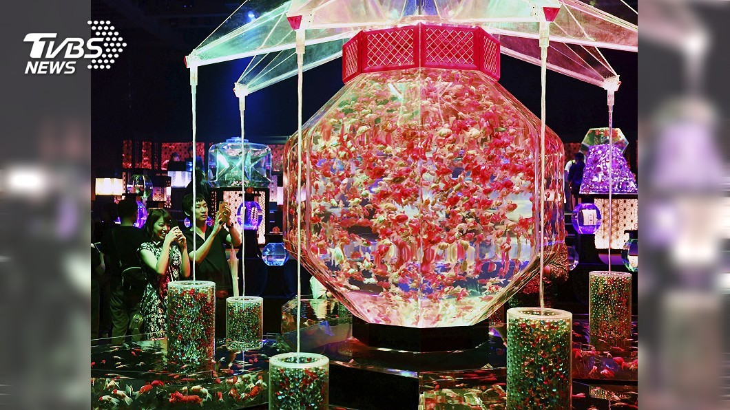圖/達志影像美聯社 東京金魚藝術展 「超花魁」魚缸再現江戶美景