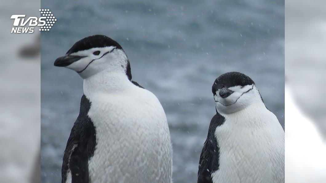 示意圖/TVBS 躲烤架築巢 小藍企鵝兩度擅闖壽司店被捕