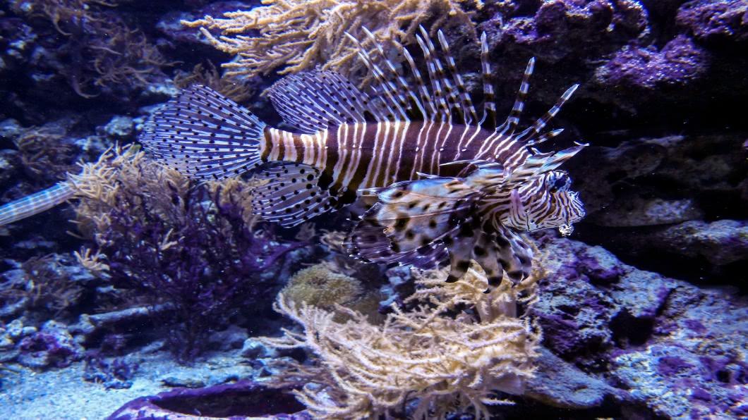 圖/達志影像美聯社 危險海洋生物獅子魚氾濫 地中海新佳餚