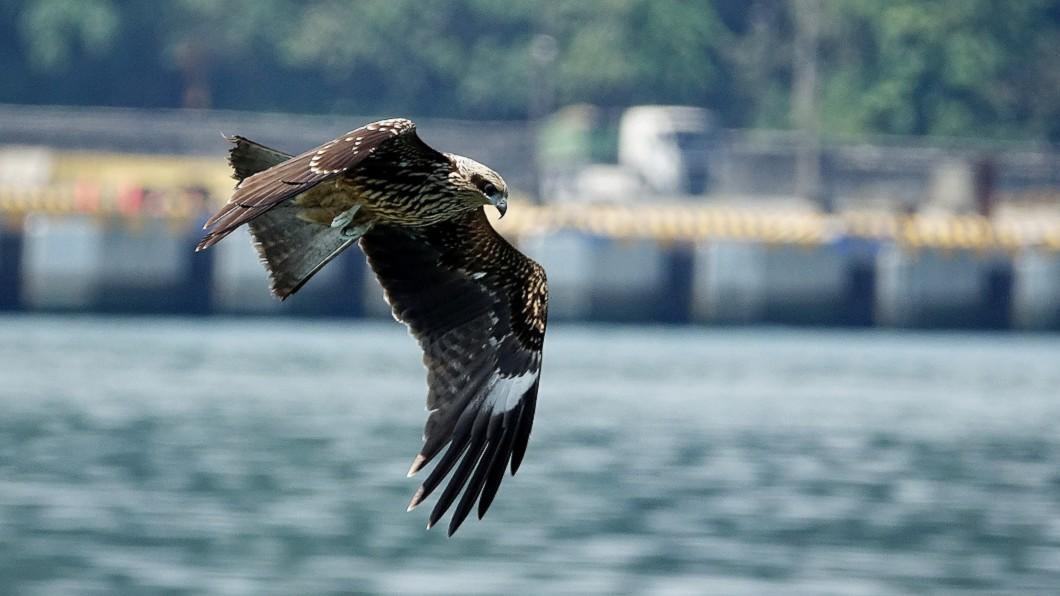 圖/基隆市野鳥學會常務理事沈錦豐提供 基隆黑鳶繁殖破紀錄! 鳥友雀躍:14隻幼鳥順利離巢