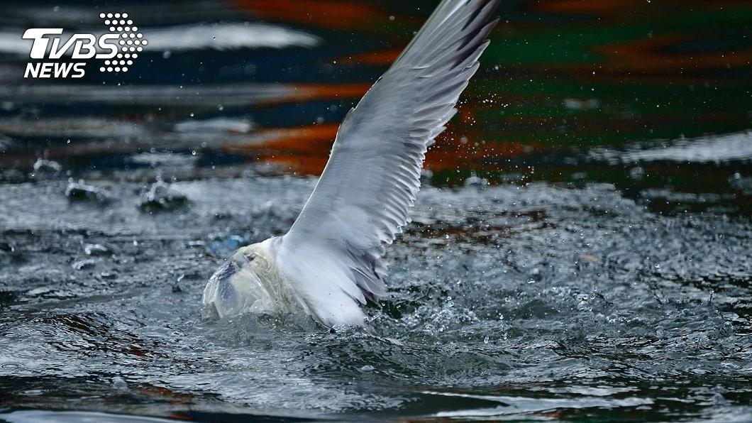 圖/拍鳥俱樂部成員陳志宏提供 鳳頭燕鷗俯衝遭塑膠袋套頭 猛甩頭求生