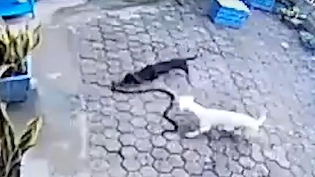狗蛇大戰,造成1死1傷。圖/截自 Any Articles YouTube 雙犬保護1歲寶寶!奮戰狂咬眼鏡蛇 中毒丟命、失明