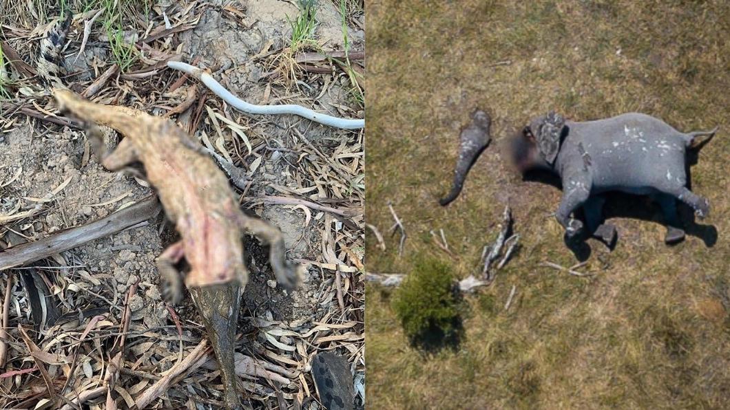 鱷魚大象遭獵殺後,屍體畫面駭人。圖/翻攝自(左)lodgie IG、(右)Cristina Twitter 殘忍!剝鱷魚皮、鋸象鼻 野生動物遭獵殺畫面太驚悚