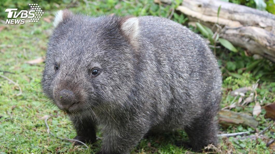 示意圖/TVBS 澳洲袋熊有救了! 專家找到治療獸疥癬藥物
