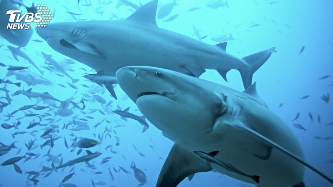 示意圖/TVBS 「公牛幼鯊」現蹤日本沖繩河川 專家籲保育