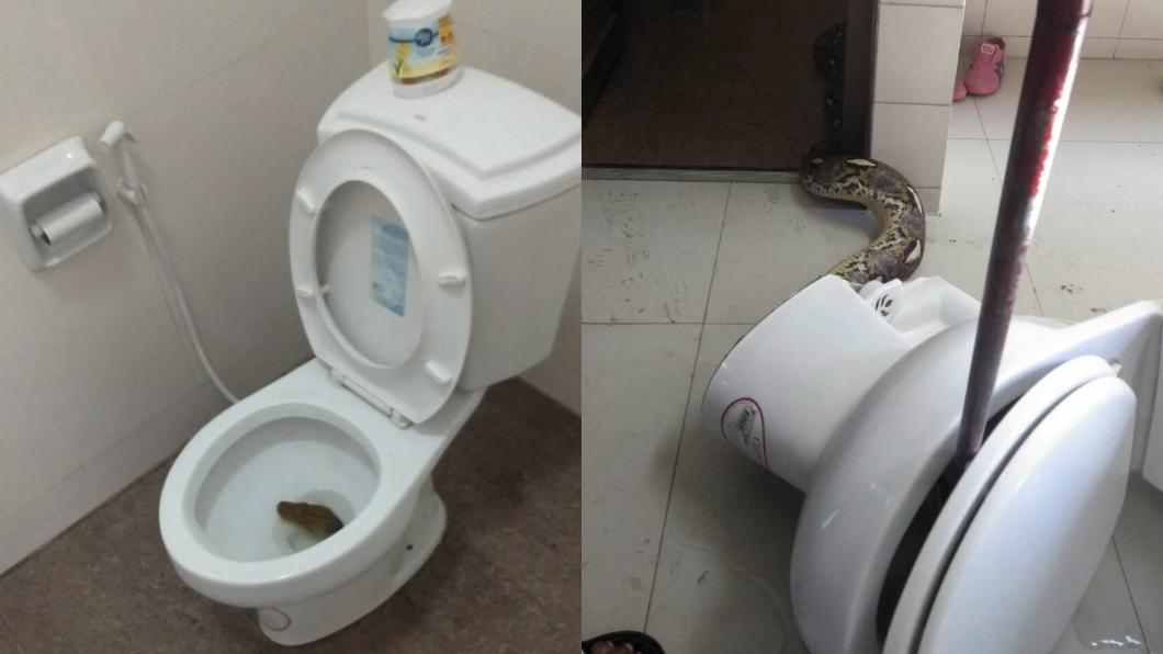 圖/翻攝自tvpoolonline 嚇!上廁所驚見「恐怖蛇頭」 他怒拔馬桶4米巨蟒竄出