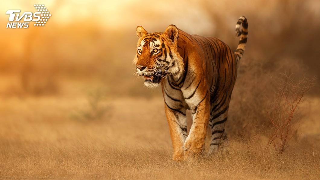示意圖/TVBS 致力保育老虎 印度擁有全球3/4野生老虎
