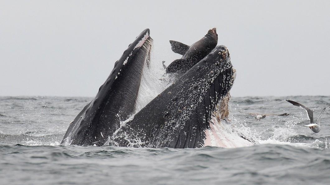 圖/翻攝自Chase Dekker-Wild Life Images臉書 海獅險遭座頭鯨大口吞 攝影師拍下驚險瞬間