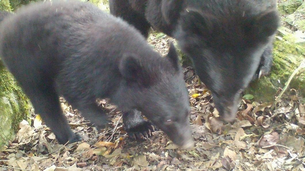 圖/林務局臉書 保育有成!熊出沒成必然 林務局:共同面對「有熊國」