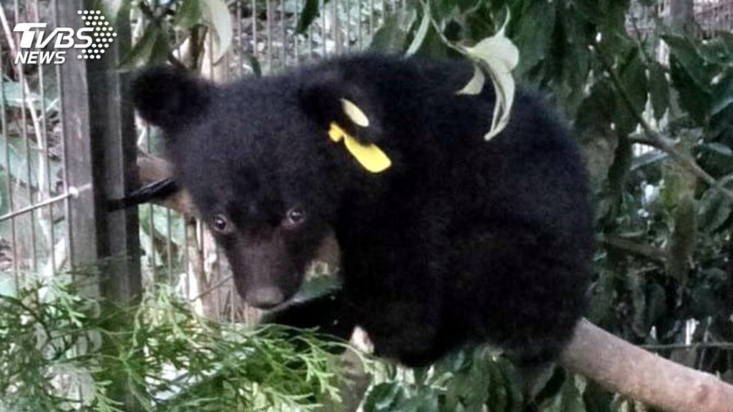 圖/中央社 黑熊寶寶躲颱風 將暫時從野外移到室內
