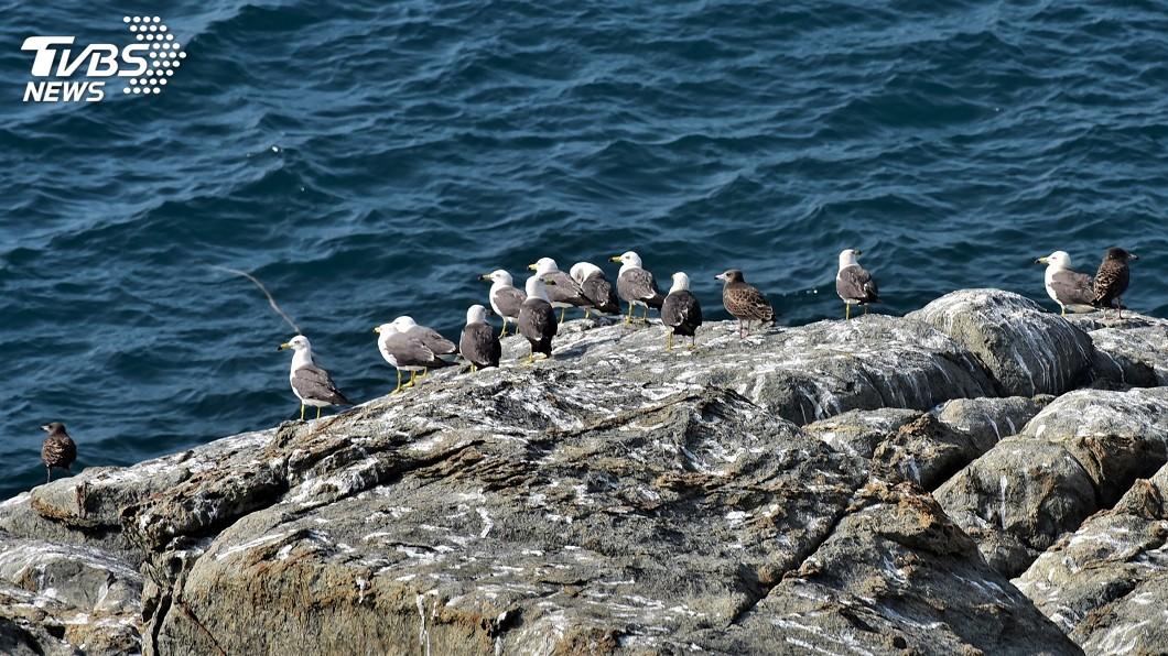 圖/中央社 東引黑尾鷗繁殖順利 8月下旬將離境南下