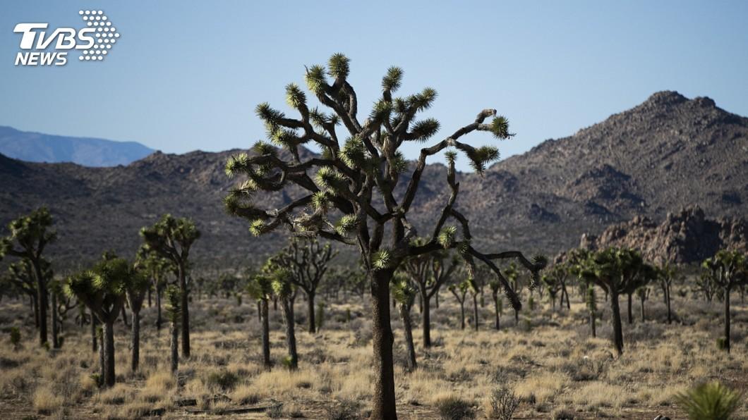 圖/達志影像美聯社 氣候變遷受害者 「約書亞樹」本世紀末恐消失殆盡