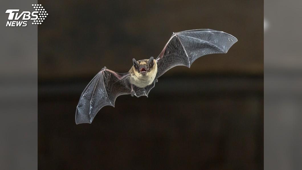 圖/達志影像美聯社 廉航偷渡客!蝙蝠潛進機艙裡亂竄 嚇壞乘客