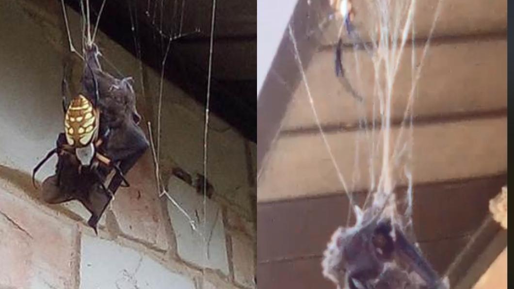 圖/翻攝自臉書Annette Alaniz Guajardo 驚悚畫面曝!毒蜘蛛「生吞2倍大蝙蝠」 屋主目睹嚇傻