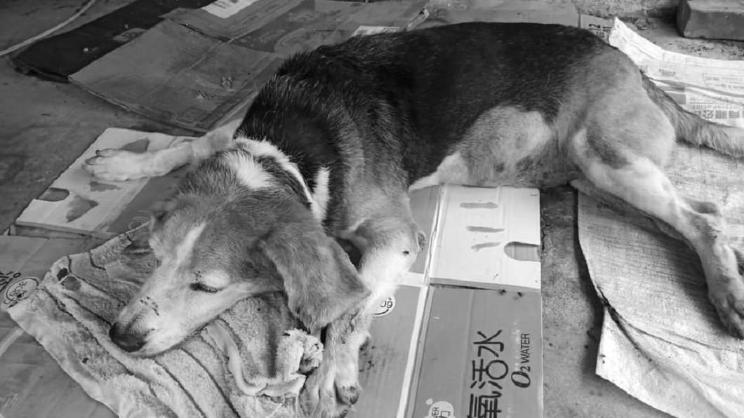 熱狗選在和主人同樣的11日過世,在天上和牠最愛的主人團聚。圖/傅達綸提供