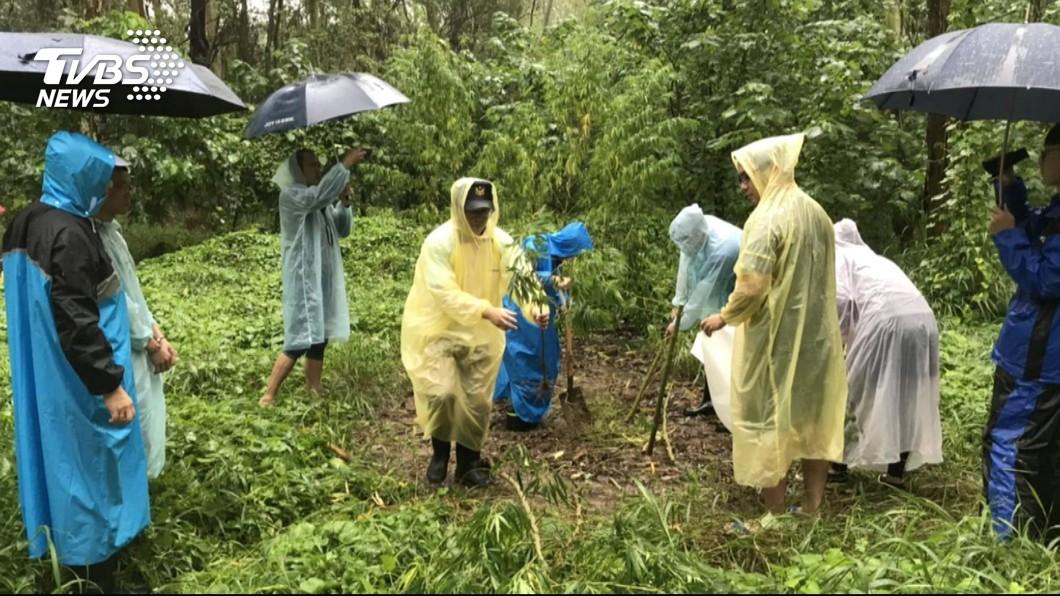 圖/TVBS 農場被人偷種大麻 查獲20株高3公尺