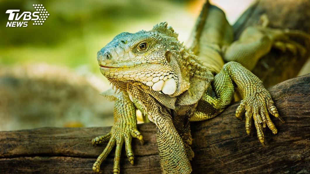 圖/中央社 美洲綠鬣蜥恐危害生態 飼養須登記且不得繁殖