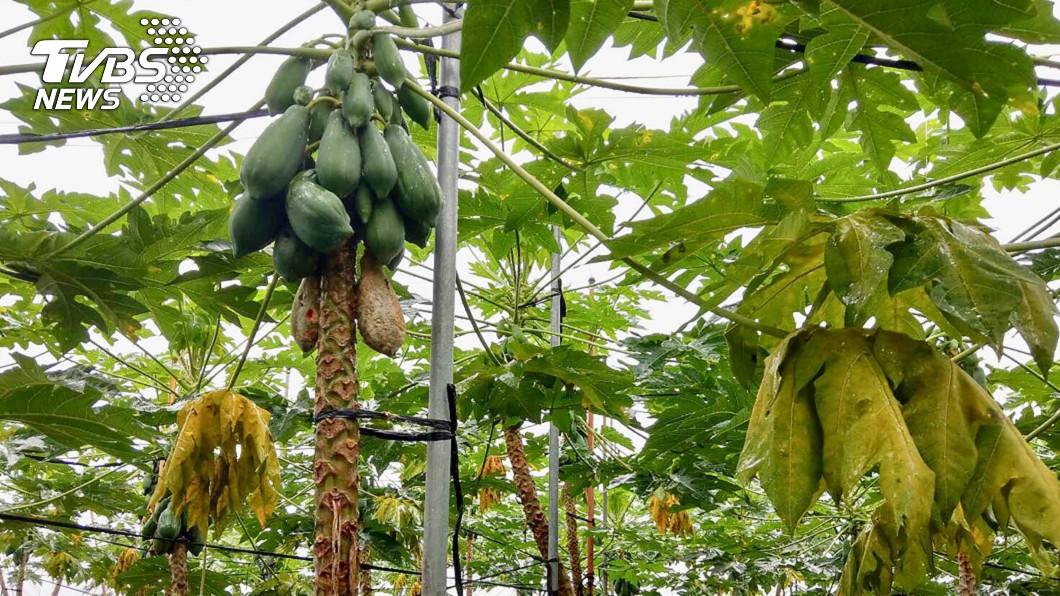 圖/高雄市農業局提供 豪雨農損達1691萬元 高雄最嚴重!