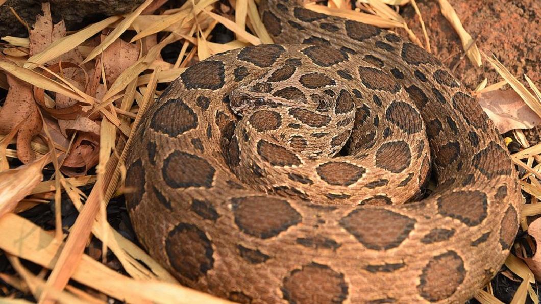 是厚顏女查詢,這條被打死的蛇是鎖鏈蛇,是台灣6大毒蛇之一。(圖/翻攝自維基百科)