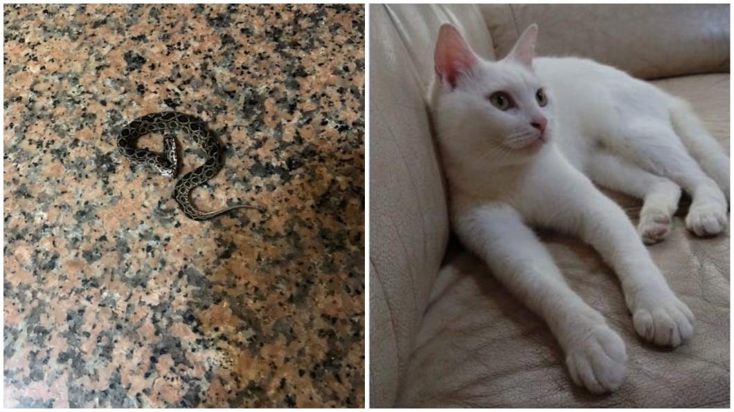 一名網友分享日前家中有鎖鏈蛇闖入,是飼養的愛貓「牛奶」把蛇打死。(圖/顏姓女網友提供) 鎖鍊蛇闖民宅 顧家喵星人把牠殺了