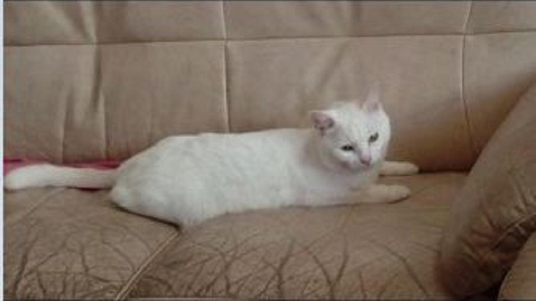 愛貓「牛奶」是4歲的貓咪。(圖/顏姓女網友提供)