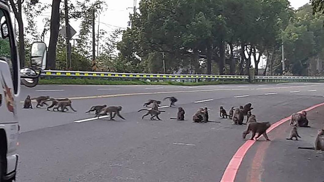 圖/林中國小提供 猴群轉移陣地闖進校園覓食 校長扮驅猴人維安