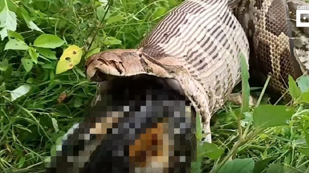 圖/翻攝自YouTube 慎入!4公尺蟒蛇反芻 嘴滑出「濕黏黑色物」嚇傻眾人