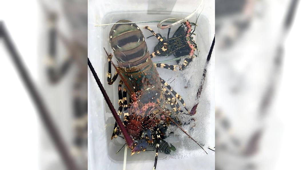 圖/中央社(池祥鈺提供) 捕獲罕見大隻抱卵龍蝦 漁民委由生態專家放生