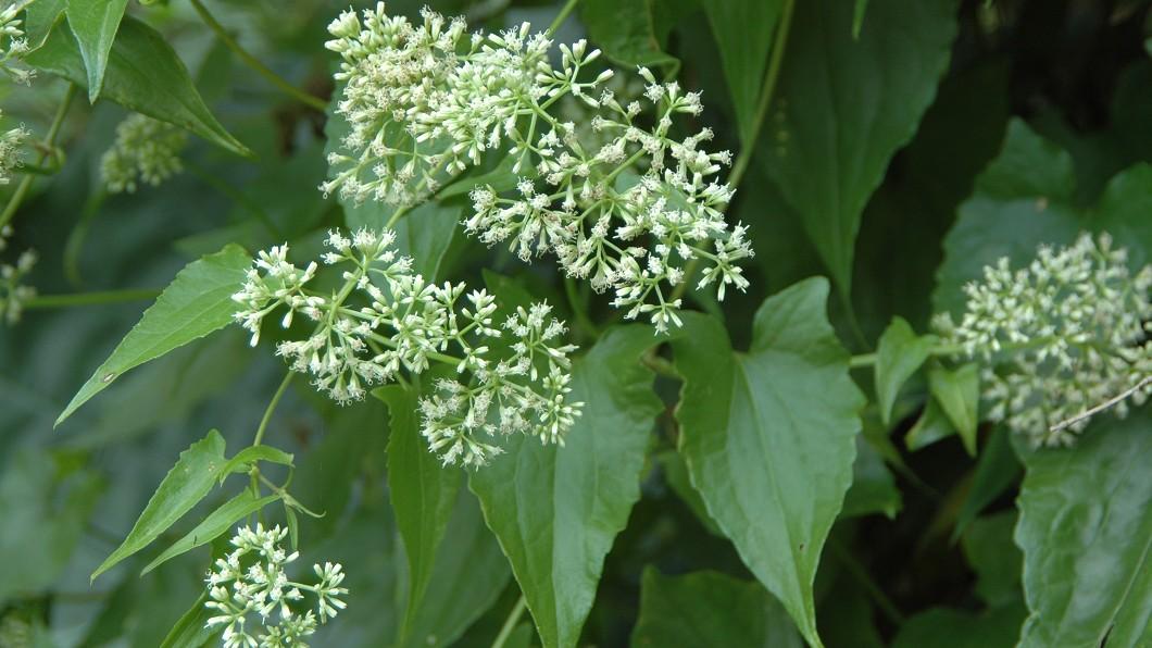 小花蔓澤蘭繁殖能力極強,仍須經年持續防治,才能避免其再度蔓延。圖/翻攝自林務局網站 外來入侵種太猖狂 「拔好拔滿」一起護生態
