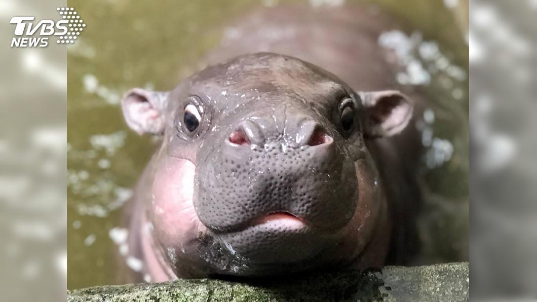 圖/壽山動物園提供 壽山動物園有喜! 新萌主侏儒河馬寶寶待命名