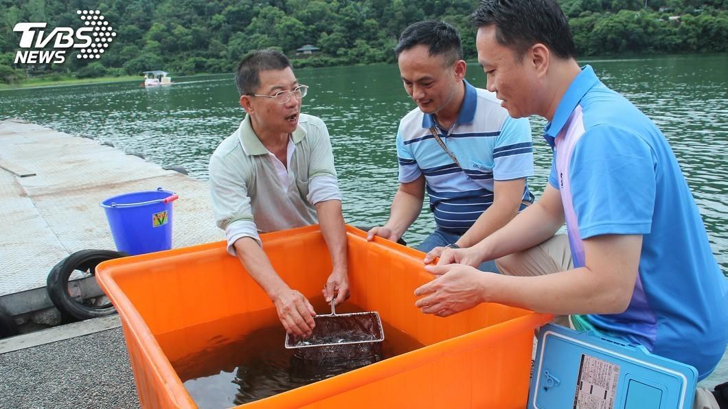 圖/中央社 改善花蓮鯉魚潭水質 流放3千尾白鰱吃藻類