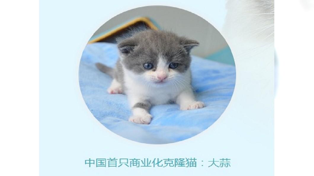 圖/翻攝自sinogene biotechnology網站 中國首隻複製貓「大蒜」滿月 和本尊有點小差異
