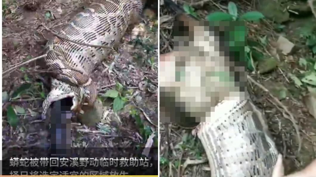 圖/翻攝自梨視頻 驚!蟒蛇活吞「40公斤羊」 恐怖畫面嚇傻村民