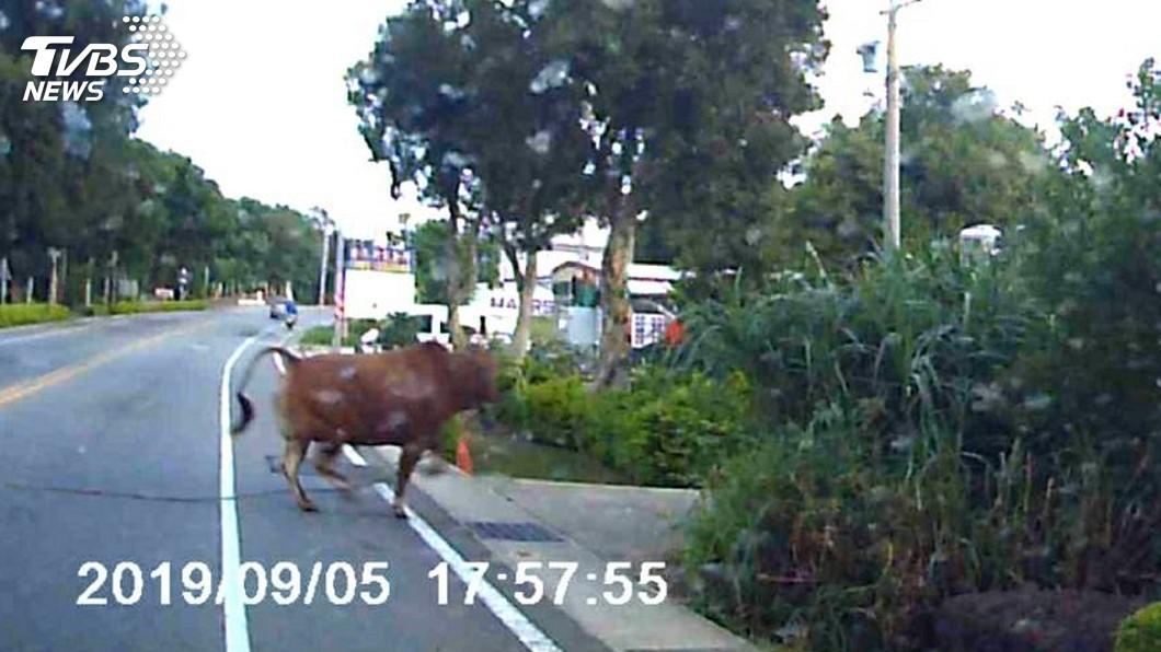 圖/中央社 黃牛突竄出衝撞汽車後「逃逸」 嚇壞駕駛