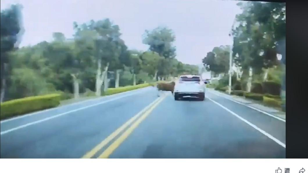 黃牛衝出與汽車擦撞。圖/翻攝至靠北金門臉書粉絲團