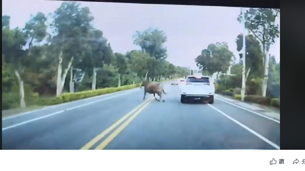 一頭黃牛突衝出馬路,撞到駕駛後馬上跑走。 圖/翻攝至靠北金門臉書粉絲團 汽車行進間遭撞 肇事的「牠」竟加速逃逸