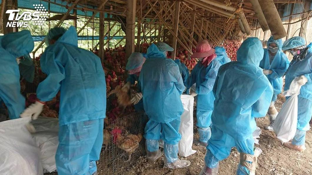 圖/中央社 雲林養雞場傳禽流感 撲殺2萬8900隻