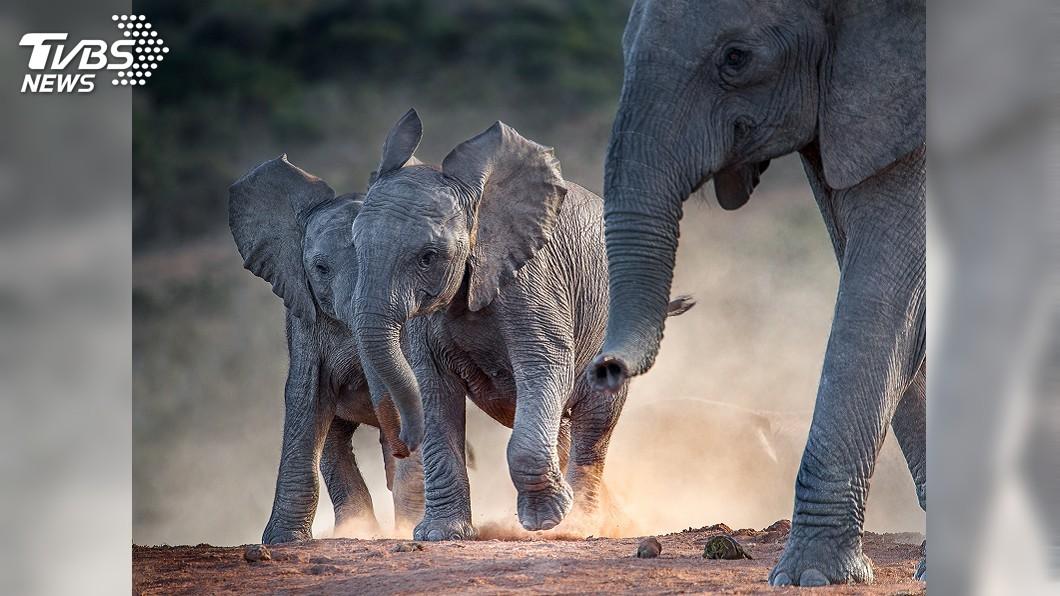 示意圖/TVBS 大象受驚暴衝踩踏! 斯里蘭卡佛牙節慶典18人傷