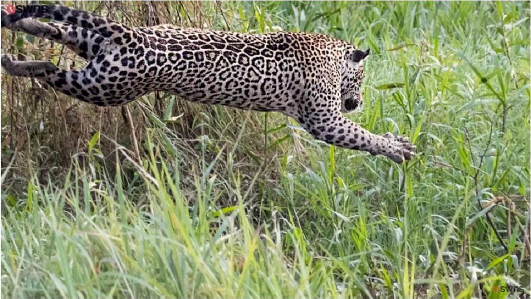 眼見時機成熟,美洲豹直接從樹上跳下。(圖/翻攝自YouTube)