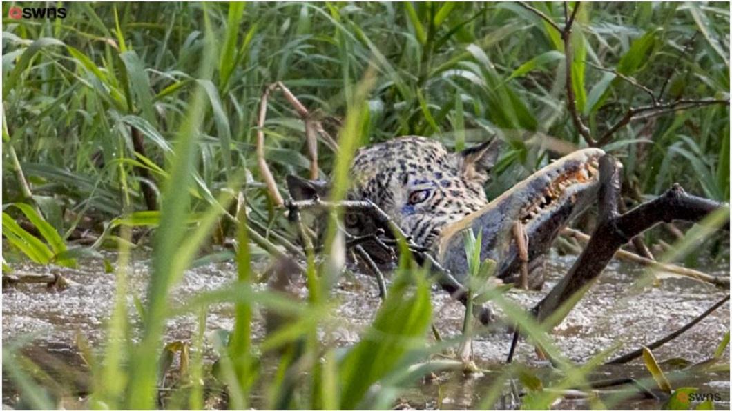 最後美洲豹和鱷魚的對決,美洲豹勝出。(圖/翻攝自YouTube)