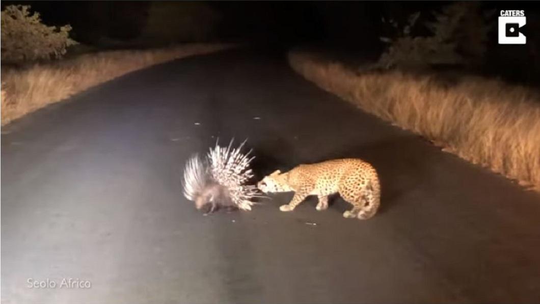 南非國家公園日前上演一齣「花豹豪豬大決鬥」的戲碼。(圖/翻攝自YouTube) 一物剋一物!花豹猛攻 豪豬「1千零1招」讓牠吃癟
