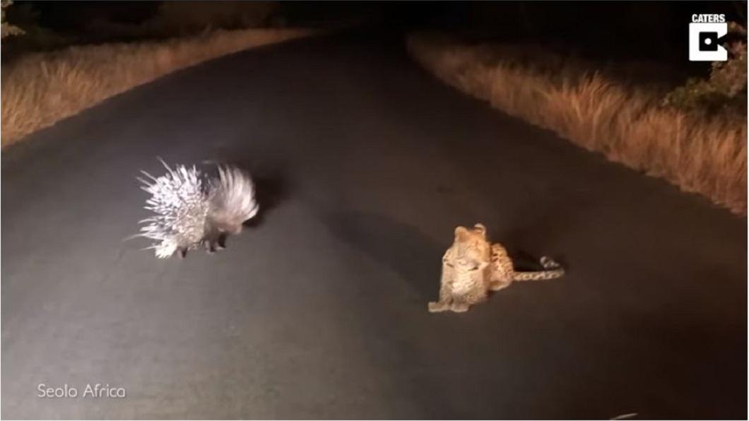 經過一番纏鬥後,花豹無法突破豪豬身上密密麻麻的尖刺,無奈放棄看對方離開。(圖/翻攝自YouTube)