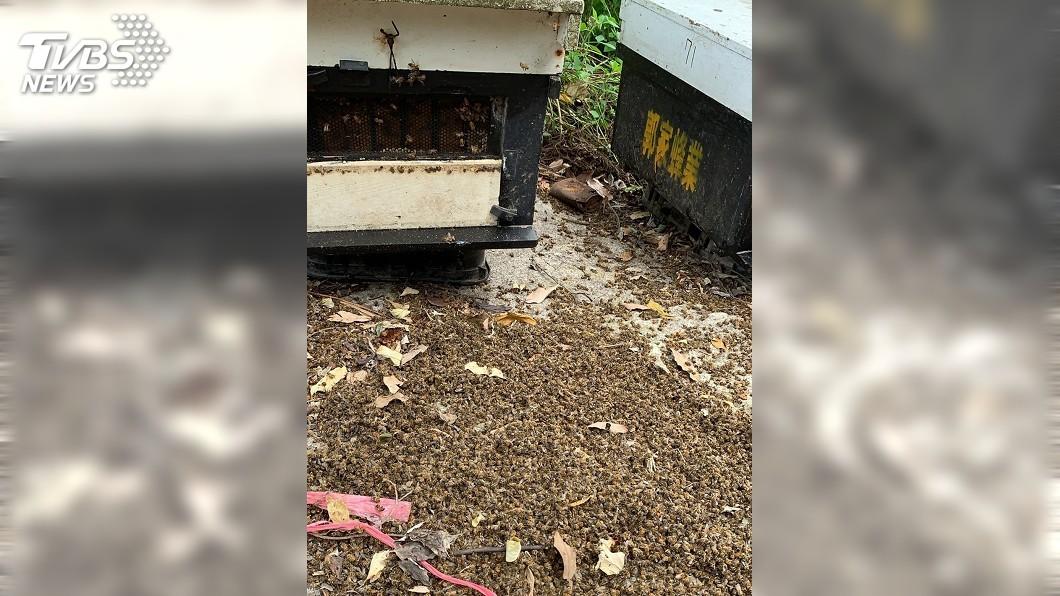 圖/中央社 嘉義梅山500萬隻蜜蜂死亡 蜂農:疑遭人毒殺報復