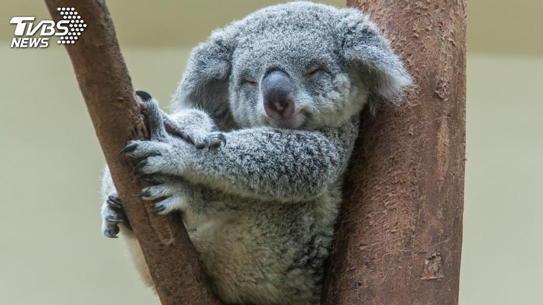 示意圖/TVBS 澳洲無尾熊1天抱樹20小時 原來在「納涼」