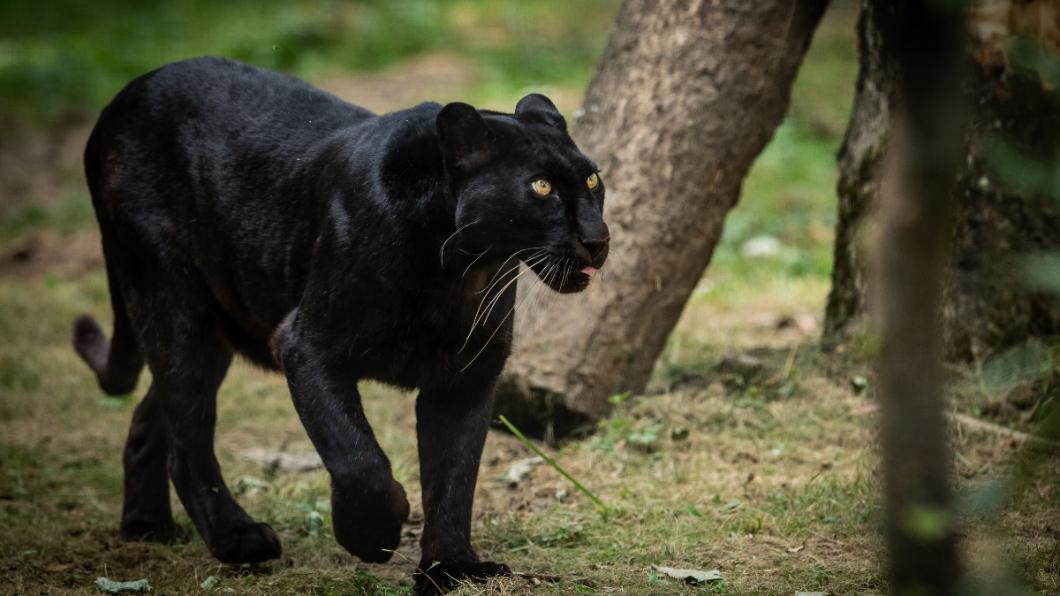 示意圖/TVBS 窗邊驚見「黑豹」悠閒遊蕩 少女嚇壞拔腿落跑