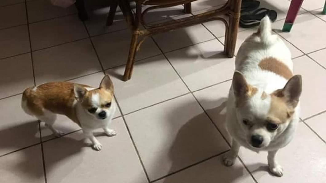 這對兄妹米克斯,左邊是妹右邊是哥,你看得出當中差異嗎?(圖/翻攝自爆廢公社) 吉娃娃兄妹不同人養…哥給阿嬤帶 網:從不讓人失望